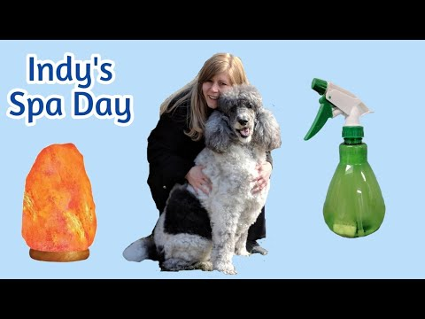 Indy's Spa Day For His 10th Birthday | Bathing a Standard Poodle