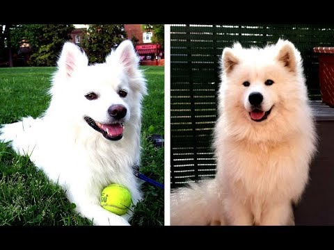 American Eskimo Dog vs Samoyed - Similarities and Differences