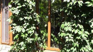 Вьющиеся растения.  Виноград девичий, летняя обрезка.