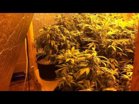 Week 4 - Indoor Weed Grow 2013 - SCROG Day 28