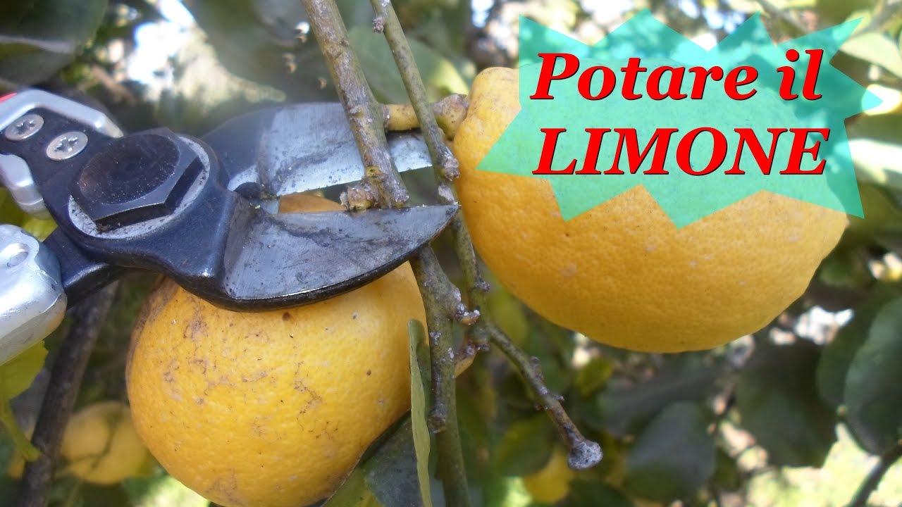 Potare il limone youtube for Potatura limone periodo