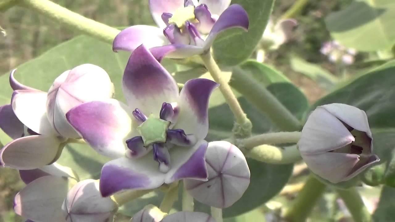 Calotropis Gigantea  Crown Flower  Or Rui Or Mandar Holy Flower Of Hindus