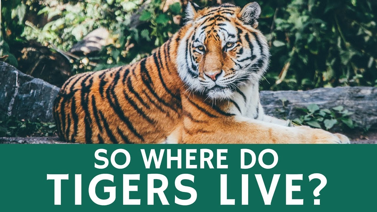 Where the tiger lives and what the Amur tiger eats where it lives 68