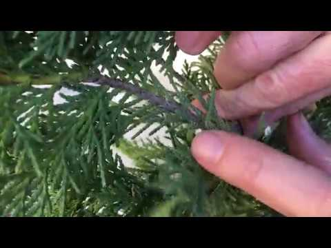 Growing Leyland Cypress Trees From Cuttings