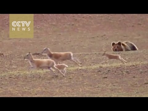 Watch: The great migration of the Tibetan antelopes