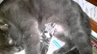 британские котята (первые движения) характер