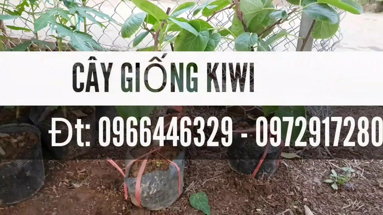 Địa chỉ bán cây kiwi chuẩn giá rẻ tại hà nội
