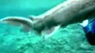 requin lézard capturé à Tokyo au Awashima Marine Park version long sans pub ( shark )