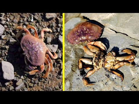 Dungeness Crab Catch and Cook, on Shore, over FIRE!!!