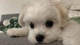 CUTE MALTESE DOG WANTS PUPCORN SO BAD
