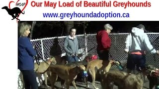 Our May Load Of Beautiful Greyhounds