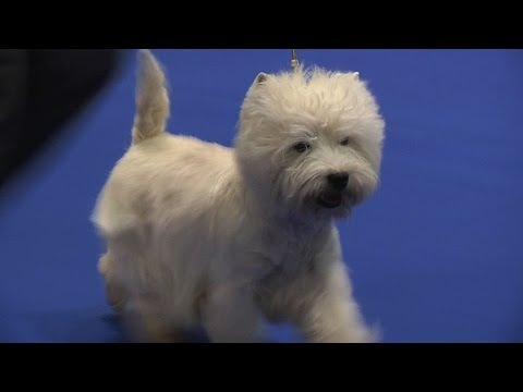 Manchester Championship Dog Show 2015 - Terrier group