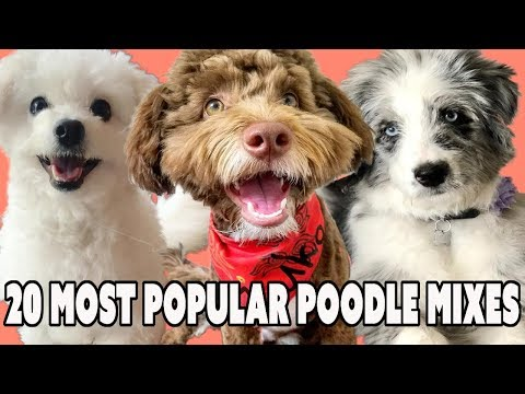 20-most-popular-poodle-mixes-that-should-not-shed-if-you-have-allergies?