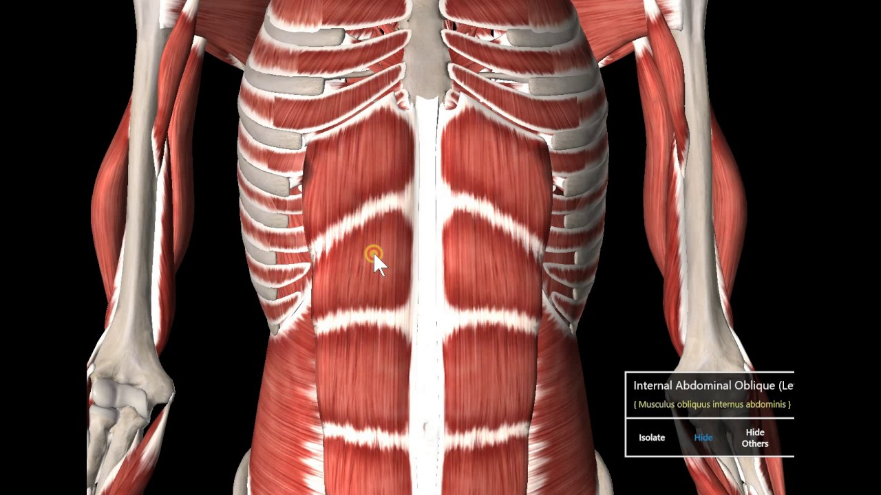 8 Muscle Gross Anatomy Scalenes Clinically Abdominal Mm Youtube