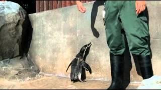 飼育係だから知っている。そんなペンギンのかわいい素顔を撮影しました!!