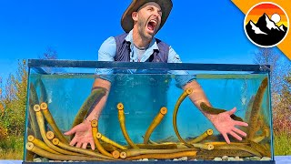 EATEN ALIVE by Sea Lamprey!