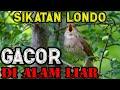 Sikatan Londo Gacor Di Alam Liar Masteran Pancingan Burung Sikatan Londo Yang Malas Bunyi  Mp3 - Mp4 Download