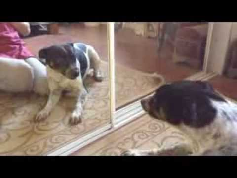 Dog Attacking Herself In A Mirror – Fox Rat Terrier – Funny