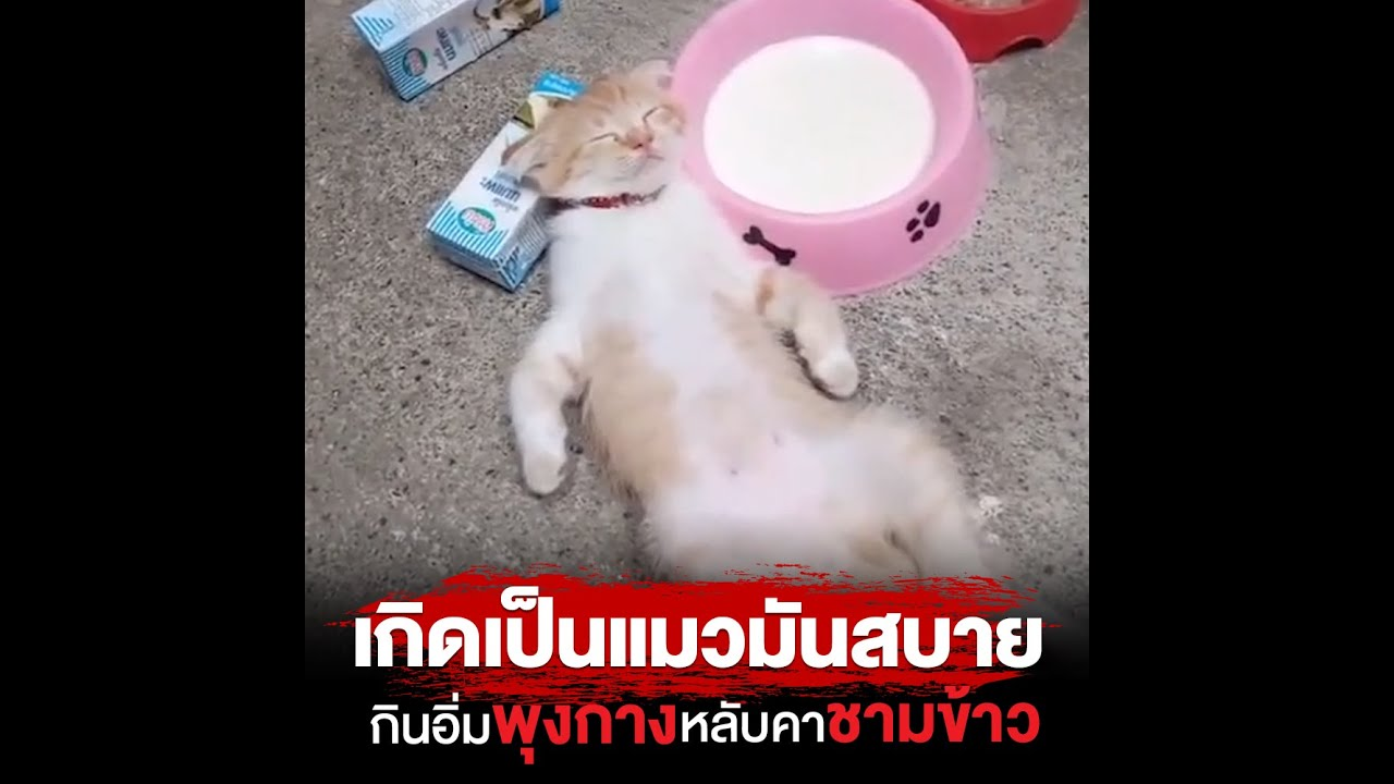 เกิดเป็นแมวมันสบาย กินอิ่มพุงกาง หลับคาชามข้าว