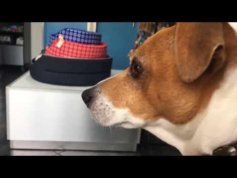 Dog panics at the vet