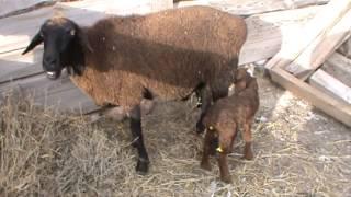 Овца с двойней))