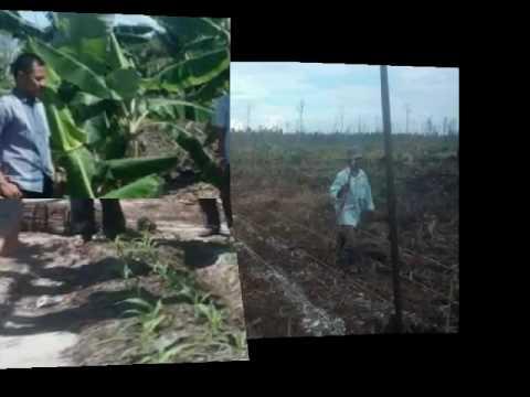 Pertanian lahan gambut kalteng(1)