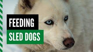 Feeding Sled Dogs