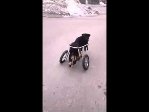 В Чебоксарах для бездомной собаки без лап, купили коляску