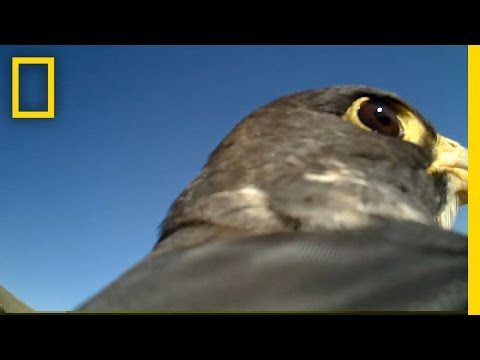 POV: Ride on the Back of a Soaring Falcon   National Geographic