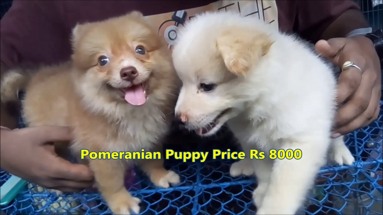 Cute Pomeranian Puppy For Sale At Galiff Street l Price Rs 8000 l Together