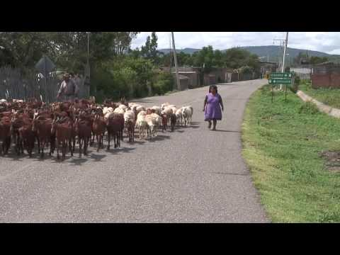 Traffic - Goats