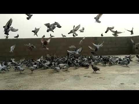 Aamir Bank Waly k 250 kabutar - Vidly xyz