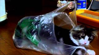我が家の福ちゃんは袋や箱が大好き♪ 夢中で遊ぶ姿をぜひ見てください。 ...