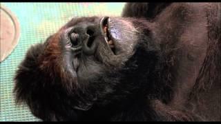 Жертвы гориллы — «Младенец на прогулке, или Ползком от гангстеров» (1994) сцена 4/10 HD