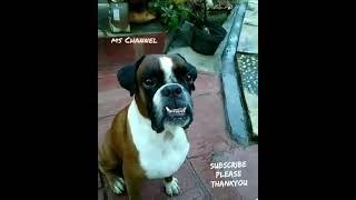 Cute Dog   Smart boxer Dog   my boxer   Anjing Boxer Pintar