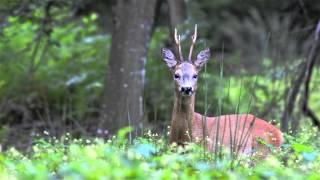 szczekający koziołek - sarna / roe-deer / capreolus capreolus
