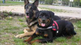 Rottweiler-the best pictures from training
