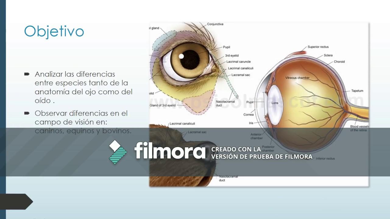 Moderno La Anatomía Del Ojo Equina Modelo - Anatomía de Las ...