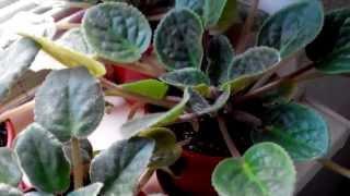 Подкормка фиалок (сенполия)(Март месяц время подкормить фиалки комплексными удобрениями перед началом цветения.Результат действия..., 2015-04-06T15:21:09.000Z)