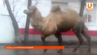 Из передвижного зоопарка в парке «Первомайский» сбежал верблюд