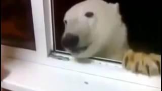В Якутии накормили печеньем белого медведя/polar bear feading
