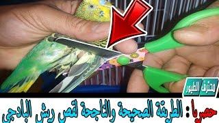 طريقة قص جناح طير البادجي للترويض   How To Properly Clip Birds Budgies