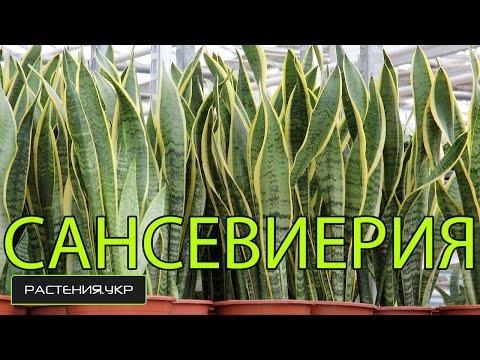 Сансевиерия / Тещин язык / Щучий хвост
