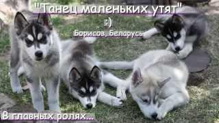 ПРЕВЬЮ/preview! Щенки сибирского хаски / Siberian Husky Puppies / Polaris Noche Kennel