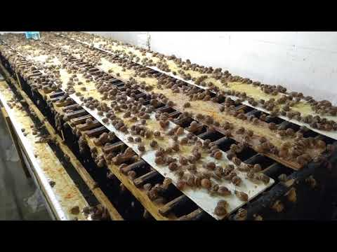 Helix Aspersa Muller - равликова ферма (початок сезону 2019)