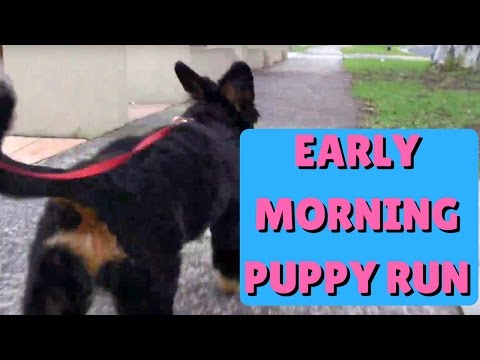 Early morning run with Willow the Bernese Mountain Dog puppy  Part 2 4K HD