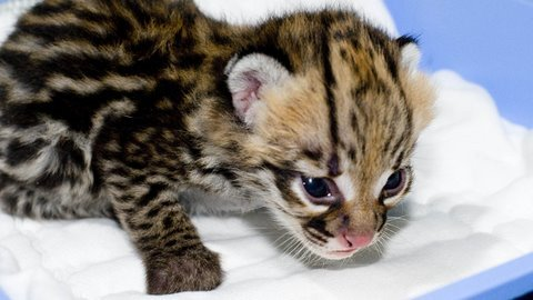 What do baby cheetahs look like
