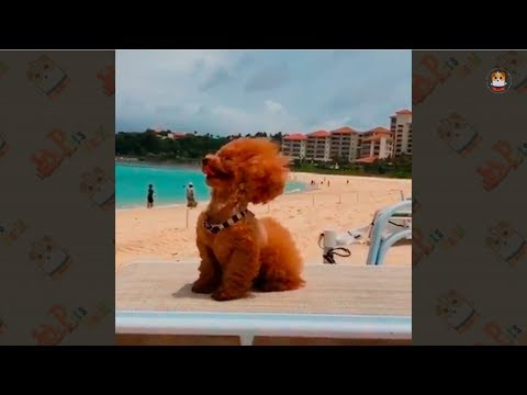 Poodle Compilation 2017 # 2