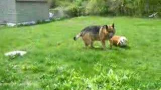 Welsh Corgi And German Shepherd