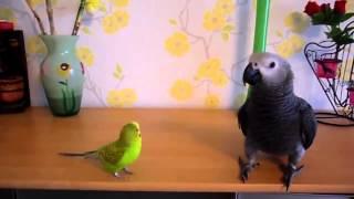 Большой попугай играет с маленьким!